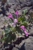Wilde violette Blume Lizenzfreie Stockbilder