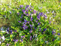 Wilde violette Frühlingsblumen Stockfotos
