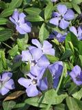 Wilde viooltjes Royalty-vrije Stock Foto's