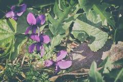 Wilde viooltjes Stock Fotografie