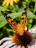 Wilde Vlinder Stock Afbeeldingen