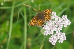 Wilde vlinder Royalty-vrije Stock Afbeeldingen