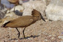 Wilde vogel dicht bij het meer in Ethiopië, Februari 2019 stock afbeelding