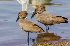Wilde vogel dicht bij het meer in Ethiopië, Februari 2019 royalty-vrije stock foto's