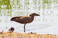 Wilde vogel dicht bij het meer in Ethiopië, Februari 2019 stock foto's