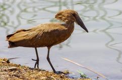 Wilde vogel dicht bij het meer in Ethiopië, Februari 2019 royalty-vrije stock afbeeldingen