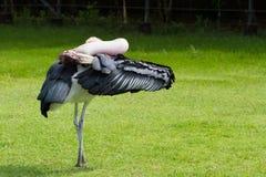 Wilde vogel Geschilderde ooievaar op groen gras Royalty-vrije Stock Afbeelding