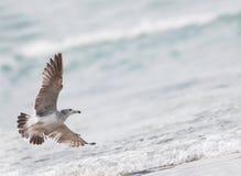 Wilde vogel (zeemeeuw Met zwarte staart) Royalty-vrije Stock Foto