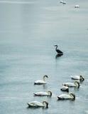 Wilde vogels die in rivierkanaal voeden Stock Fotografie