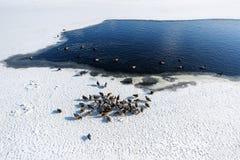 Wilde vogels op bevroren rivier Royalty-vrije Stock Foto's