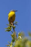 Wilde vogelzitting op een tak Motacillaflava Royalty-vrije Stock Foto