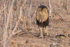 Wilde Volwassen Mannelijke Leeuw met een Losse Honds het Besluipen Prooi stock foto's