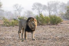 Wilde Volwassen Mannelijke Leeuw met een Losse Honds het Besluipen Prooi royalty-vrije stock foto