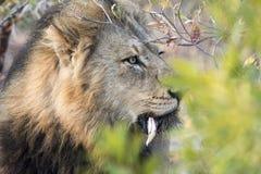 Wilde Volwassen Mannelijke Leeuw met een Losse Honds het Besluipen Prooi stock fotografie