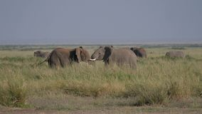 Wilde Volwassen Mannelijke Olifantenstrijd over een Wijfje tijdens het Fokkenseizoen in Afrikaan stock footage