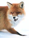 Wilde vos Royalty-vrije Stock Afbeelding