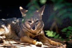 Wilde vos bij de dierentuin stock foto