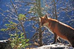 Wilde vos in de Tatra-Bergen stock foto