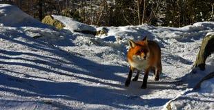 Wilde vos die rond heimelijk nemen Royalty-vrije Stock Foto
