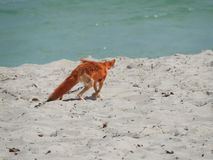 Wilde Vos op het zand in Tunesië op een hete duidelijke dag royalty-vrije stock fotografie