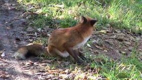 wilde vosplaatsing op bosweg stock videobeelden