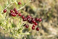 Wilde vruchten in bos Stock Foto