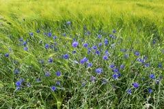 Wilde wachsende blaue Kornblumen am Rand eines Gerstenfeldes stockfotografie