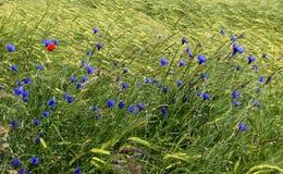 Wilde wachsende blaue Kornblumen am Rand eines Gerstenfeldes stockfoto