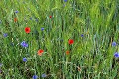 Wilde wachsende blaue Kornblumen am Rand eines Gerstenfeldes lizenzfreie stockfotos