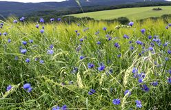 Wilde wachsende blaue Kornblumen am Rand eines Gerstenfeldes lizenzfreie stockbilder
