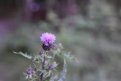 Wilde wachsende violette Blume Stockfotografie
