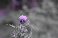 Wilde wachsende violette Blume Stockfotos