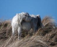 Wilde Waliser-Ponys stockfoto