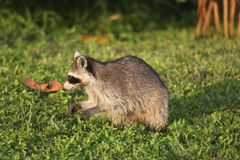 Wilde Wasberen in Zuidelijk Florida Royalty-vrije Stock Foto