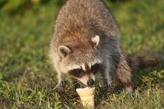 Wilde Wasberen in Zuidelijk Florida Royalty-vrije Stock Afbeelding
