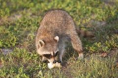 Wilde Wasberen in Zuidelijk Florida Royalty-vrije Stock Afbeeldingen
