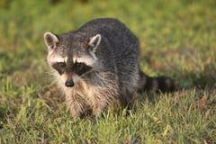 Wilde Wasberen in Zuidelijk Florida Stock Foto