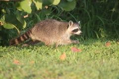 Wilde Wasberen in Zuidelijk Florida stock afbeeldingen