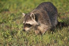 Wilde Waschbären in Süd-Florida Stockfotografie