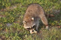Wilde Waschbären in Süd-Florida Lizenzfreie Stockfotografie