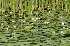 Wilde Wasserlilien Stockbild