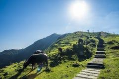 Wilde waterbuffels die op het bergachtige terrein weiden stock afbeelding
