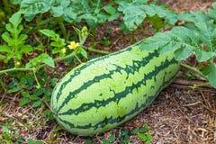 Wilde watermeloen Royalty-vrije Stock Fotografie