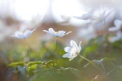 Wilde weiße Blumen in der Waldwiese lizenzfreies stockfoto