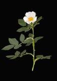 Wilde Weißrose, lokalisiert über schwarzem Hintergrund lizenzfreie stockfotografie
