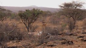Wilde weibliche Antilope mit ihrem Baby in den Büschen der afrikanischen Samburu-Reserve stock video footage