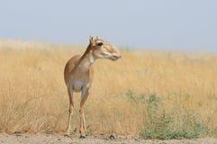 Wilde weibliche Saiga-Antilope in Kalmückien-Steppe Lizenzfreies Stockbild
