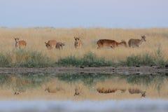 Wilde weibliche Saiga-Antilopen im nahen Bewässerungsteich der Steppe Lizenzfreie Stockbilder