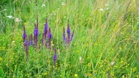 Wilde weide met Salvia Superba-bloemen in zomer stock footage