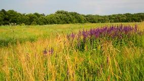 Wilde weide met Salvia Superba-bloemen in zonsondergang stock footage